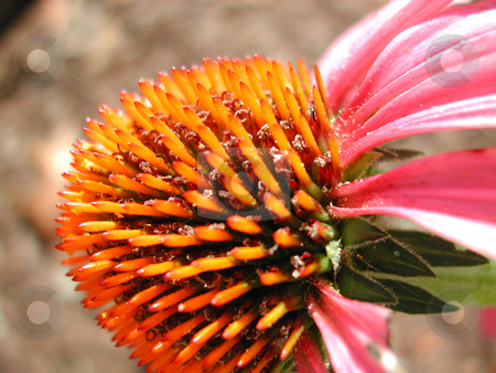 Cone Flower stock photo, Cone Flower after full bloom by Annie Alvarez