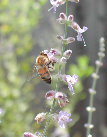Bee Business stock photo, Bee sucking nector out of flower by Annie Alvarez