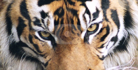 Close Up stock photo, Close Up of Tiger Eyes by Annie Alvarez