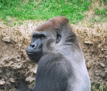 Greyback Gorilla stock photo, Gorilla people watching by Annie Alvarez