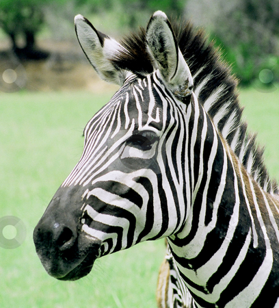 Zebra stock photo, Zebra posing by Annie Alvarez