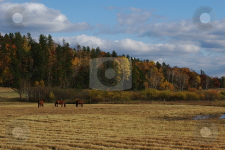 Fall colors on Minnesota ridge stock photo, Three quarter horses graze in a field below a ridge line of trees dressed in colorful fall foliage. by Dennis Thomsen