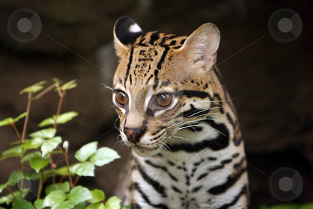 Serval stock photo, Closeup of a Serval against blurred background. by Megan Lorenz