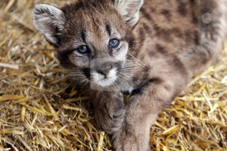 Baby Cougar stock photo, Closeup of a baby Cougar with vibrant blue eyes. by Megan Lorenz
