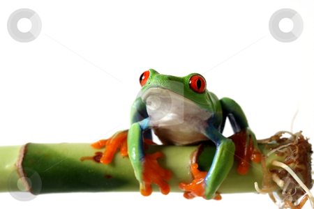 Bright Beauty stock photo, Red-Eyed Tree Frog on Bamboo.  Isolated on white background. by Megan Lorenz