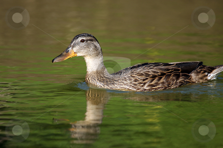 Duck stock photo, Closeup of a duck in a pond. by Megan Lorenz