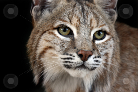 Lynx stock photo, Closeup of a Lynx against a black background. by Megan Lorenz