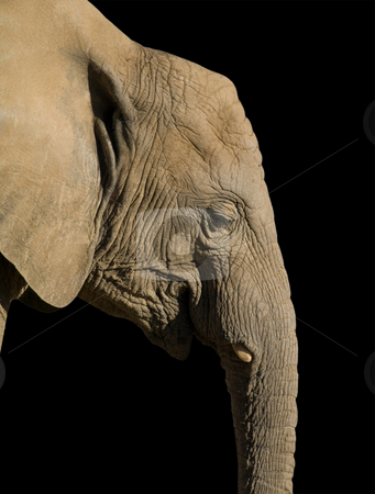 African elephant stock photo, African elephant side view isolated on black by Laurent Dambies