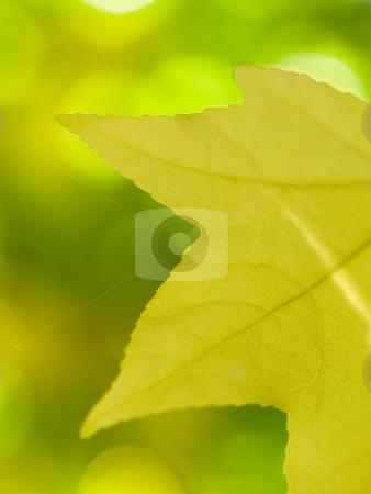 Beautiful autumn yellow leaf stock photo, Macro of a beautiful autumn yellow leaf with sunray by Laurent Dambies