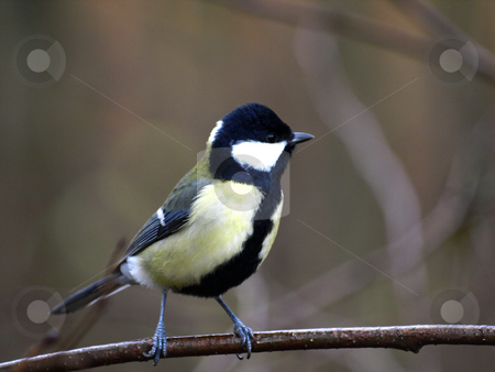 Great Tit stock photo, A Great Tit by Lars Kastilan