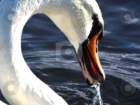 Swan stock photo, A swan??s  head by Lars Kastilan