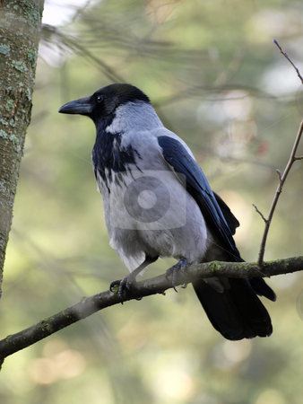 Hooded Crow stock photo, A Hooded Crow in a tree by Lars Kastilan
