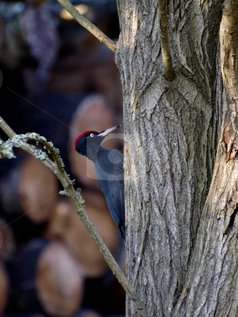 Black Woodpecker stock photo, A Black oodpecker on a tree by Lars Kastilan