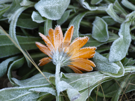 Frost stock photo, Frost on a flower by Lars Kastilan