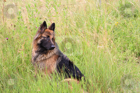 German shepherd stock photo, German shepherd in the grass, copy space by Tilo