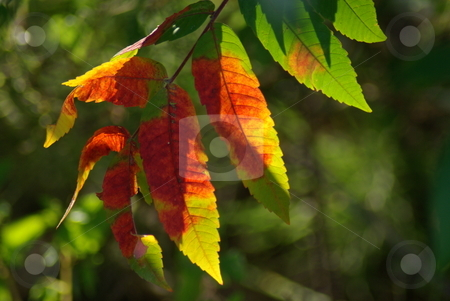 Multi-colored Sumac (Rhus) leaves stock photo, Leaves on a Sumac tree (Rhus) offer an artists's palette of fall colors on individual leaves. by Dennis Thomsen