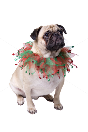 Seasons Greetings stock photo, Pug dressed for Christmas and isolated on white. by Megan Lorenz