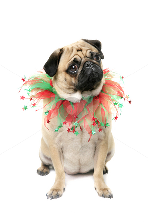 Christmas Puppy stock photo, Pug dressed for Christmas. by Megan Lorenz