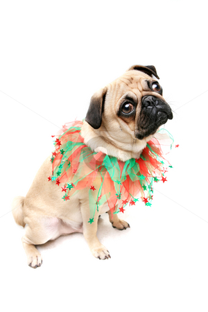 Christmas Pug stock photo, Pug dressed for Christmas by Megan Lorenz