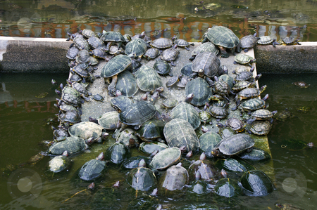 Turtle traffic stock photo, Traffic jam of turtles on a pier in a little pond by Karin Claus