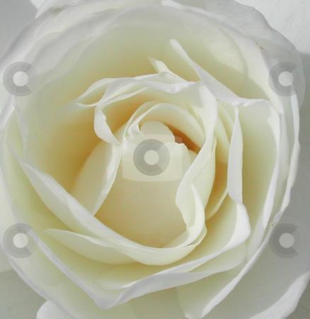 White Rose stock photo, Close Up of White Rose by Annie Alvarez