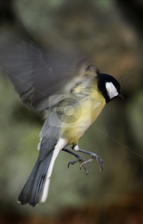 Great tit stock photo, A flying Great tit by Lars Kastilan