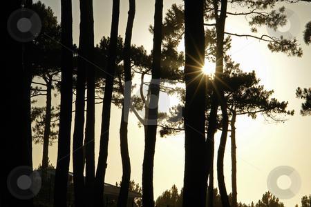Abendstimmung im Pinienwald am Atlantik stock photo, Abendstimmung im Pinienwald am Atlantik by Wolfgang Heidasch