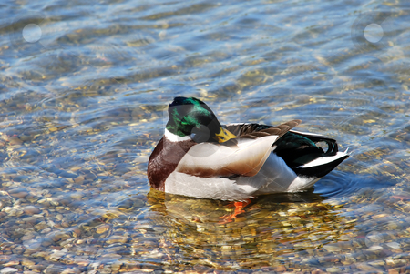 Duck on water - Hygiene stock photo, Male duck green head over transparent water by Julija Sapic