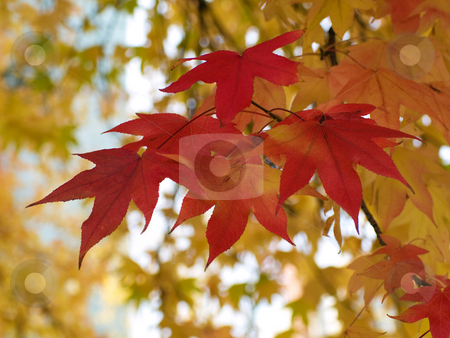Beautiful autumn red and yellow leaves stock photo, Beautiful tree with autumn red and yellow leaves by Laurent Dambies