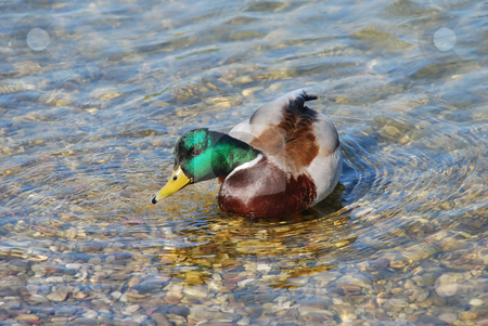 Duck drinking water stock photo, Male duck green head over transparent water by Julija Sapic