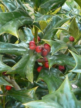 Holly Bush stock photo, A holly bush in a garden. by Claudia Ribeiro