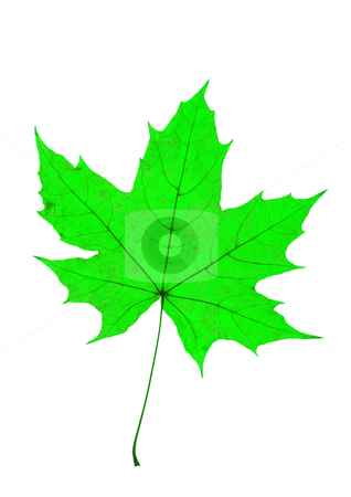 Maple Leave stock photo, Detail of a leaf blade of a maple by Petr Koudelka