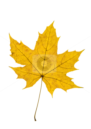 Maple Leave stock photo, Detail of a yellow leaf blade of a maple - autumn by Petr Koudelka