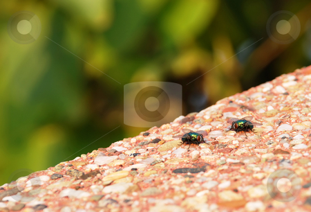 Two green flies stock photo, Two green flies outdoor on stone background by Julija Sapic