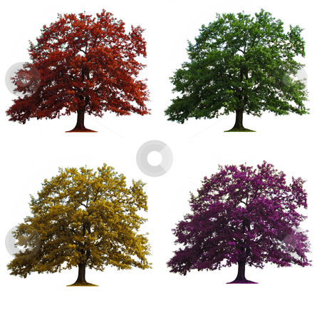 Four oak trees isolated stock photo, Four oak trees in seasons colors isolated over white by Julija Sapic