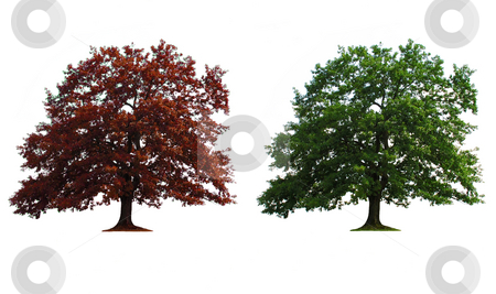Two trees in line stock photo, Green and red old oak trees isolated over white by Julija Sapic