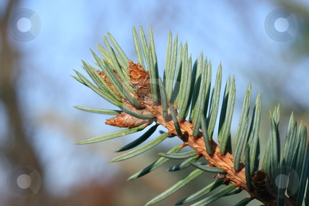 Spruce stock photo, Spruce, plant, needles, green, tree, forest, garden by ZBYSZEK ADAMUS