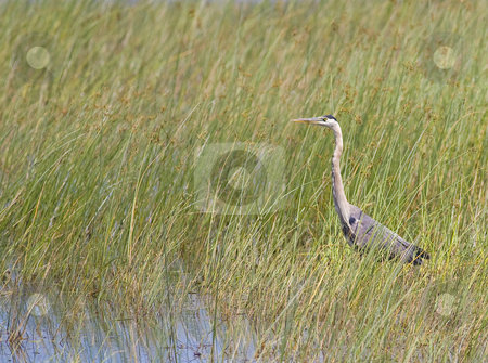 Great Blue Heron in Reeds