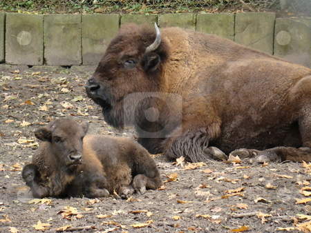 Mother bison and calf stock photo, Mother bison and calf by CHERYL LAFOND