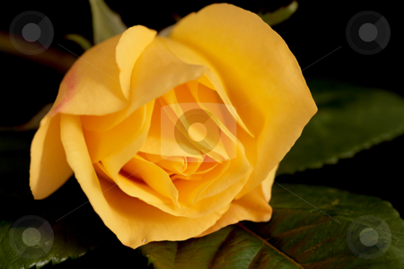 Yellow Rose stock photo, Yellow Rose Close up with leaves dark background by Stephen Inglis