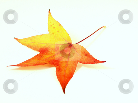 Red yellow  autumn leaf stock photo, Red yellow autumn on white background with shadow by Laurent Dambies