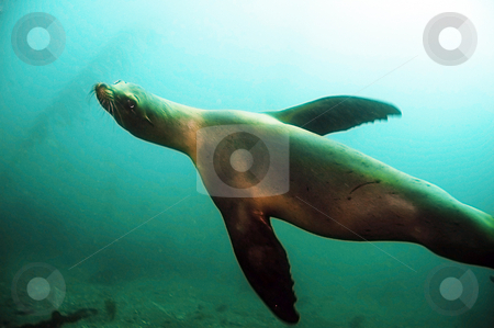 California Sea Lion stock photo, A sea lion investigates that weird person with a camera invading his territory. by Greg Amptman