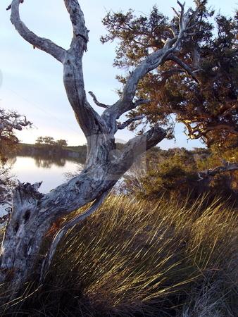 Tree in Wetlands stock photo, Old Eucalyptus tree in wetland region. by Claudia Ribeiro