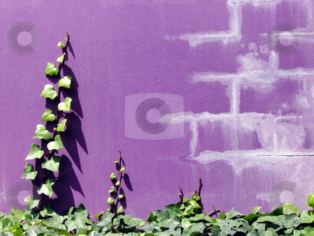 Creepers on a wall. stock photo, Two creepers growing up a purple wall. by Claudia Ribeiro