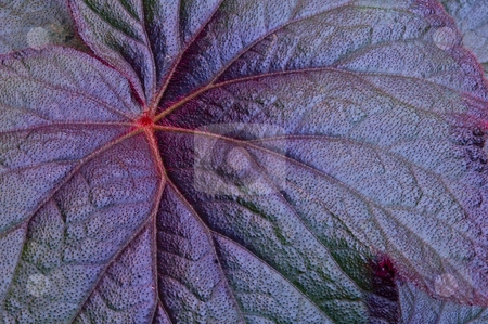 Prickly Leaf stock photo, Close up of a purple leaf by Dunja Bond