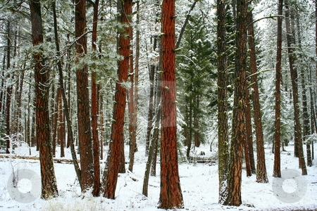 Red Bark Pine Trees stock photo, Found this shot while out for a walk in a forest near my house by Brian Johnson