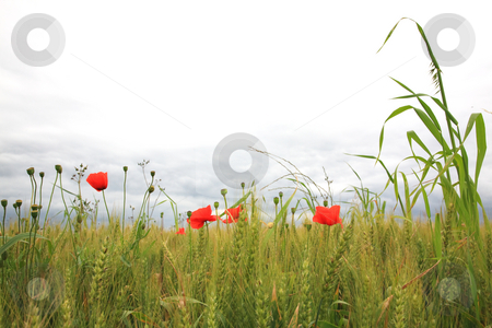 Poppies  stock photo, Poppies in a wheatfield by Tilo