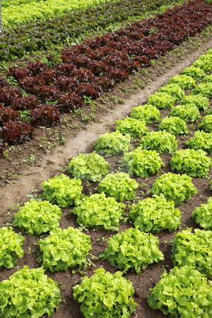 Lettuces in the fields stock photo, View of rows of green and red lettuces by Tilo