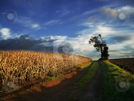 Autumn fields stock photo, Autumn landscape with maize by Midas Mould