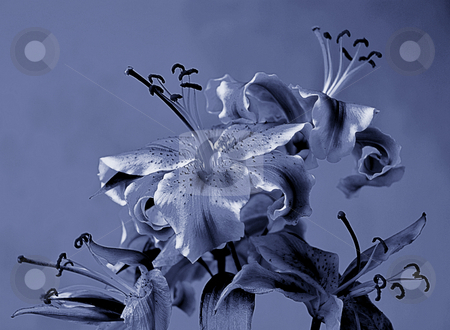 Blue lilies stock photo, Monochrome composition with lilies by Midas Mould